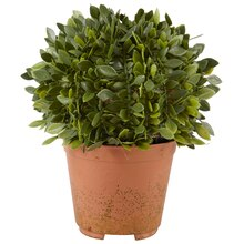 Ashland Classic Traditions Small Potted Boxwood