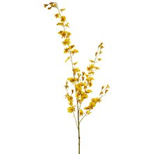 Ashland Dancing Orchid