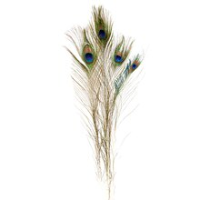 Ashland Peacock Feather with Eye