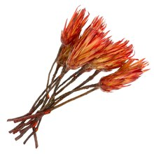 Dried Protea Flowers