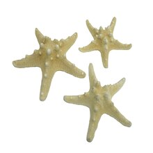 "U.S. Shell Armored Starfish, 5"" to 6"""