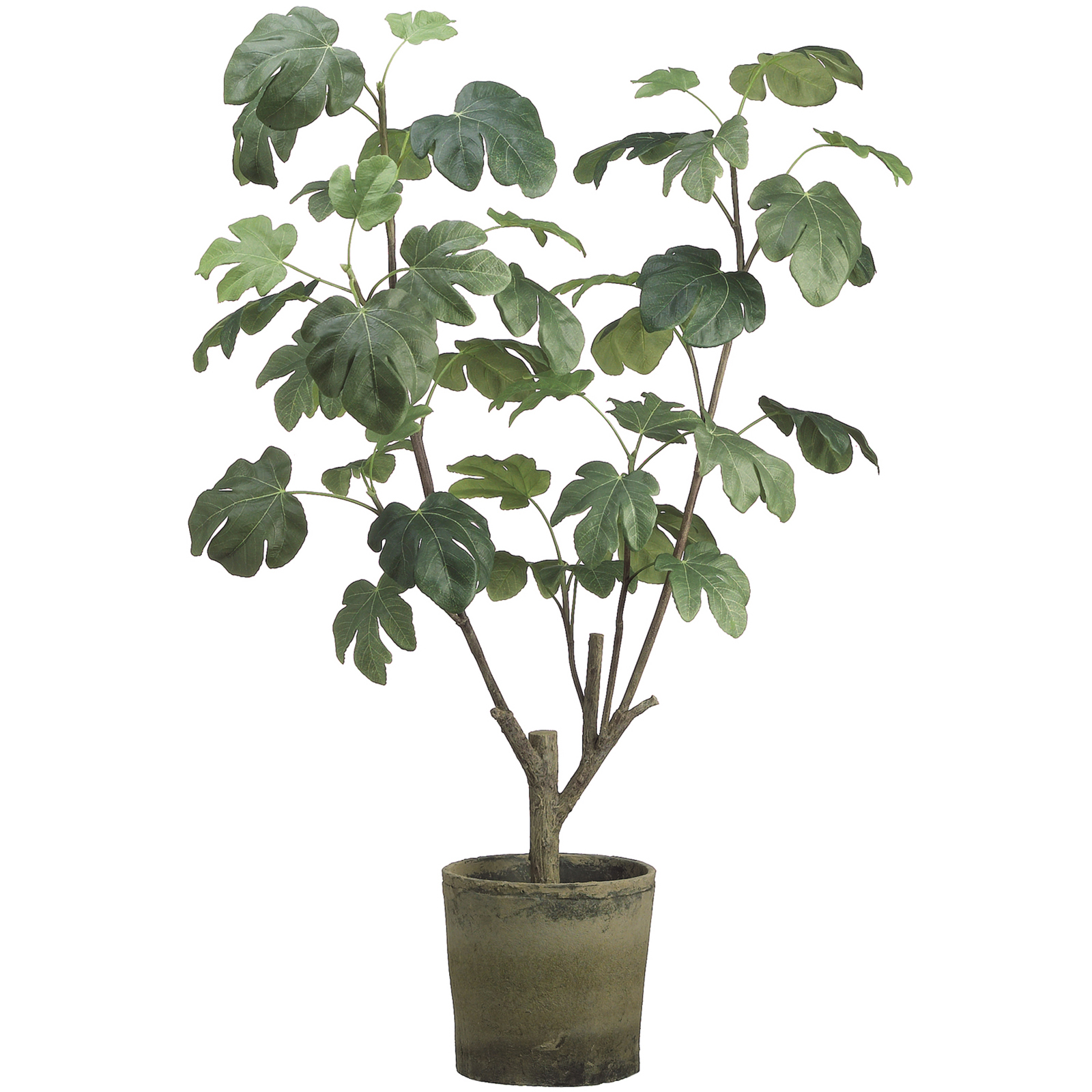 4 Ft. Fig Plant