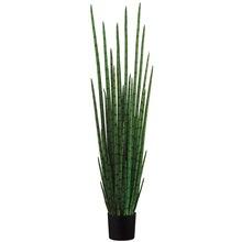 5.5 Ft. Snake Grass Plant
