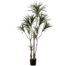 6 Ft. Outdoor Dracaena Marginata Tree