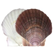 U.S. Shell Scallop Shells