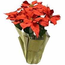 Poinsettia Pot with Gold Foil By Ashland