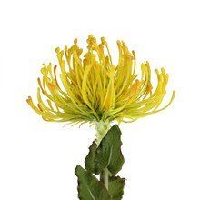 "26"" Yellow Pin Cushion Protea Floral Crafting Stem Close Up"